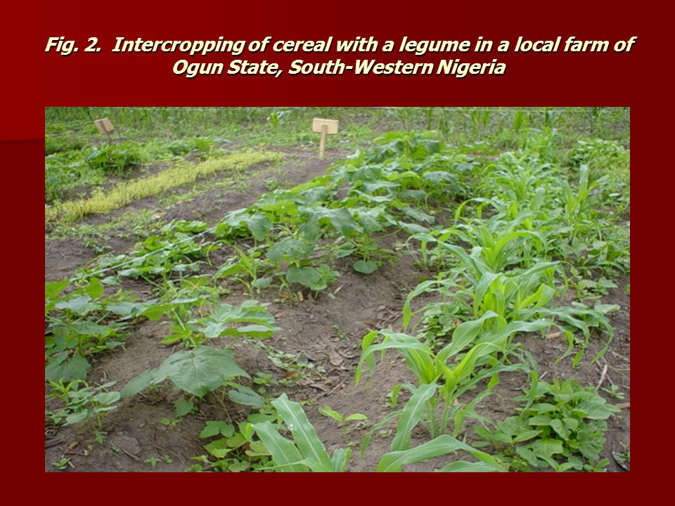 Fig. 2.Intercropping of cereal with a legume in a local farm of Ogun State, South-Western Nigeria