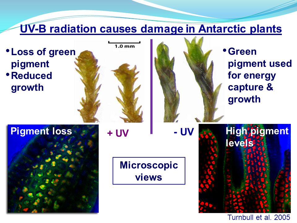 - UV Turnbull et al. 2005 High pigment levels UV-B radiation causes damage in Antarctic plants Microscopic views Pigment loss Loss of green pigment Re