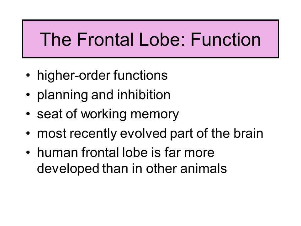 The Frontal Lobe: Function higher-order functions planning and inhibition seat of working memory most recently evolved part of the brain human frontal lobe is far more developed than in other animals