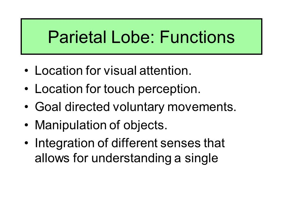 Parietal Lobe: Functions Location for visual attention. Location for touch perception. Goal directed voluntary movements. Manipulation of objects. Int
