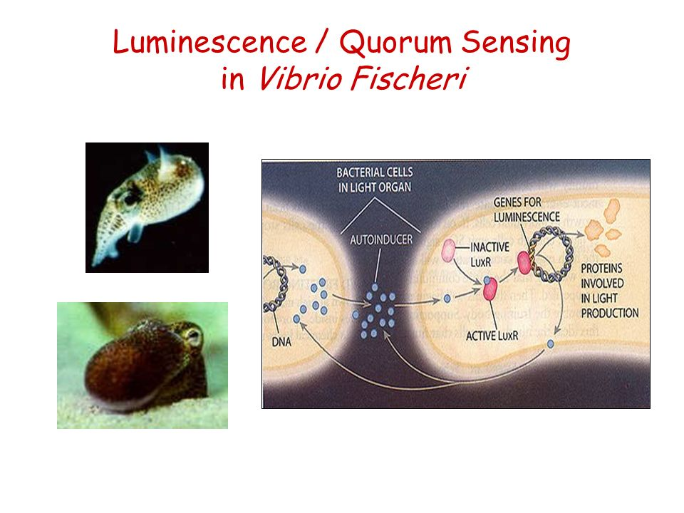 Luminescence / Quorum Sensing in Vibrio Fischeri