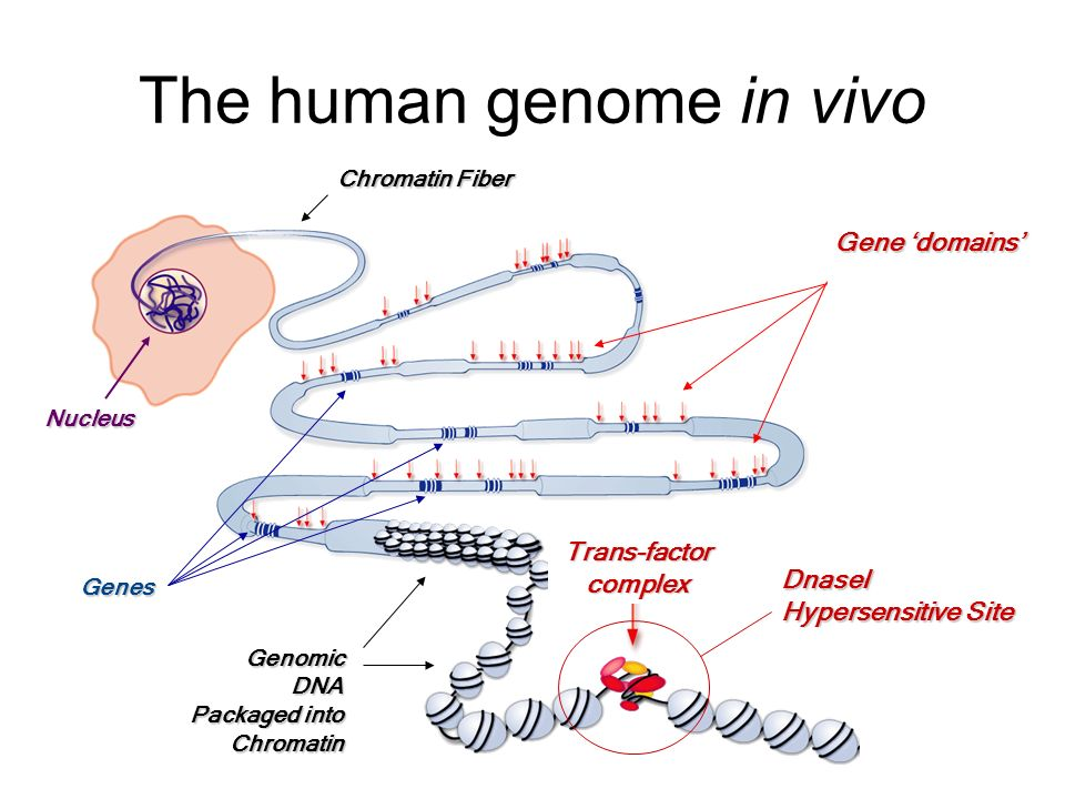 Genes Gene domains DnaseI Hypersensitive Site Trans-factor complex Chromatin Fiber Nucleus GenomicDNA Packaged into Chromatin The human genome in vivo