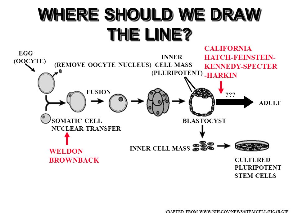 WHERE SHOULD WE DRAW THE LINE? ADAPTED FROM WWW.NIH.GOV/NEWS/STEMCELL/FIG4B.GIF BLASTOCYST INNER CELL MASS (PLURIPOTENT) EGG (OOCYTE) (REMOVE OOCYTE N