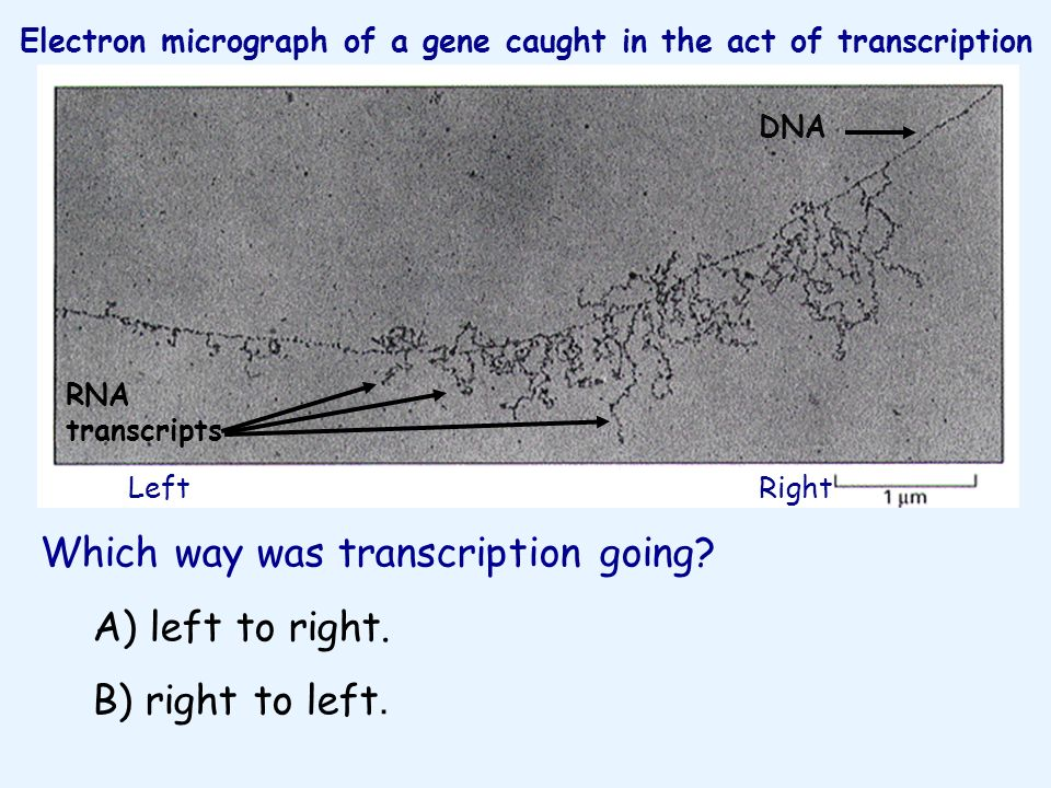 Which way was transcription going? A) left to right. B) right to left. Electron micrograph of a gene caught in the act of transcription LeftRight DNA