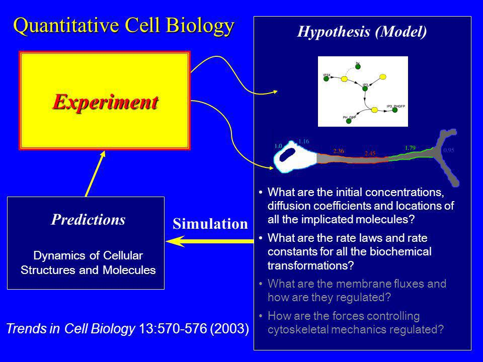 Quantitative Cell Biology Predictions Dynamics of Cellular Structures and Molecules Simulation Hypothesis (Model) What are the initial concentrations, diffusion coefficients and locations of all the implicated molecules.