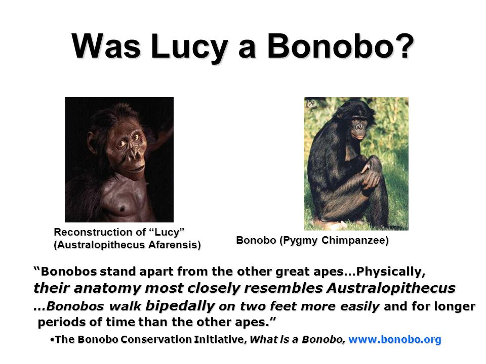Was Lucy a Bonobo? Bonobos stand apart from the other great apes…Physically, their anatomy most closely resembles Australopithecus …Bonobos walk biped