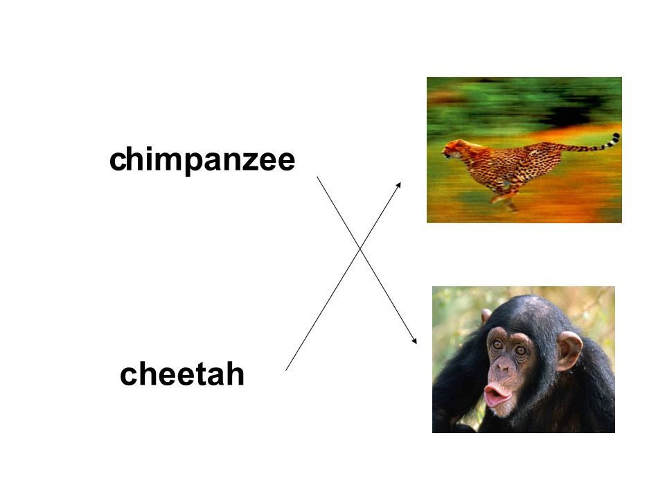 chimpanzee cheetah