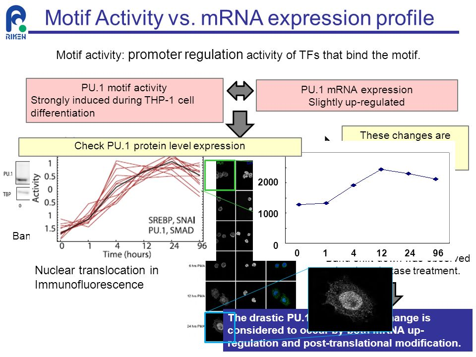 PU.1 mRNA expression Slightly up-regulated Band shift in Western blot. Nuclear translocation in Immunofluorescence These changes are caused by protein