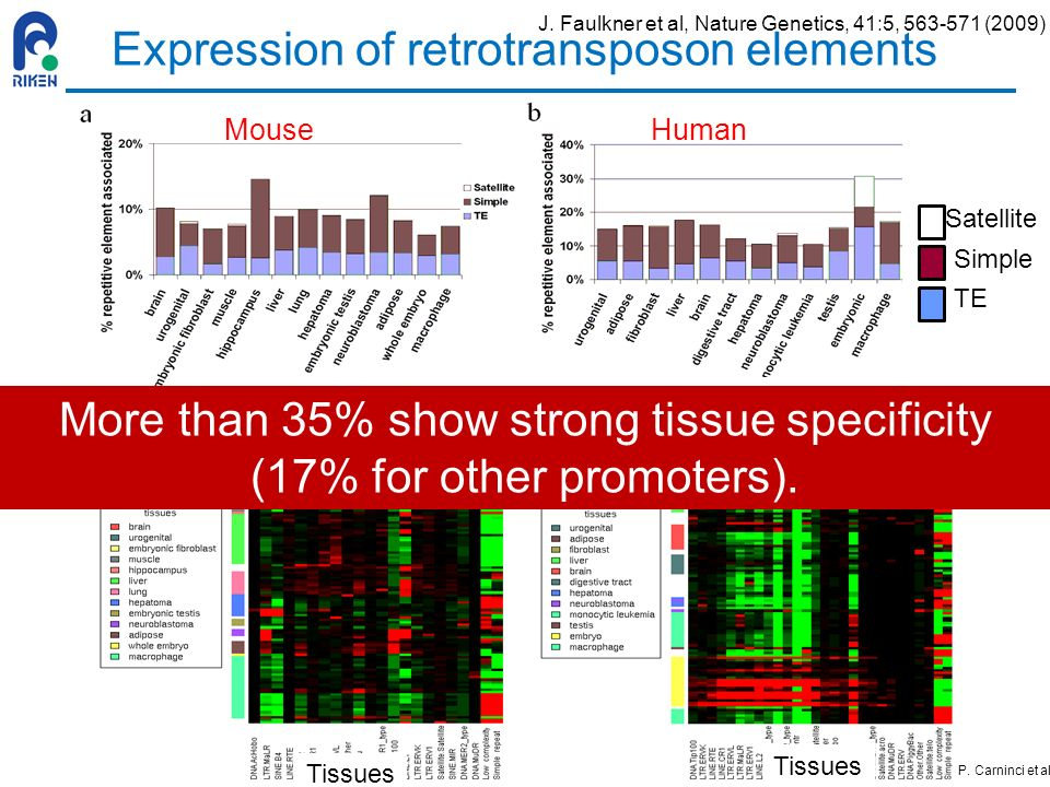 Expression of retrotransposon elements MouseHuman RED: overrepresented Green: underrepresented Tissues Satellite Simple TE More than 35% show strong t