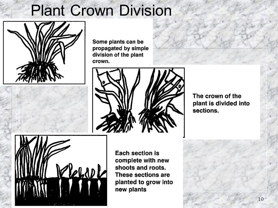 10 Plant Crown Division