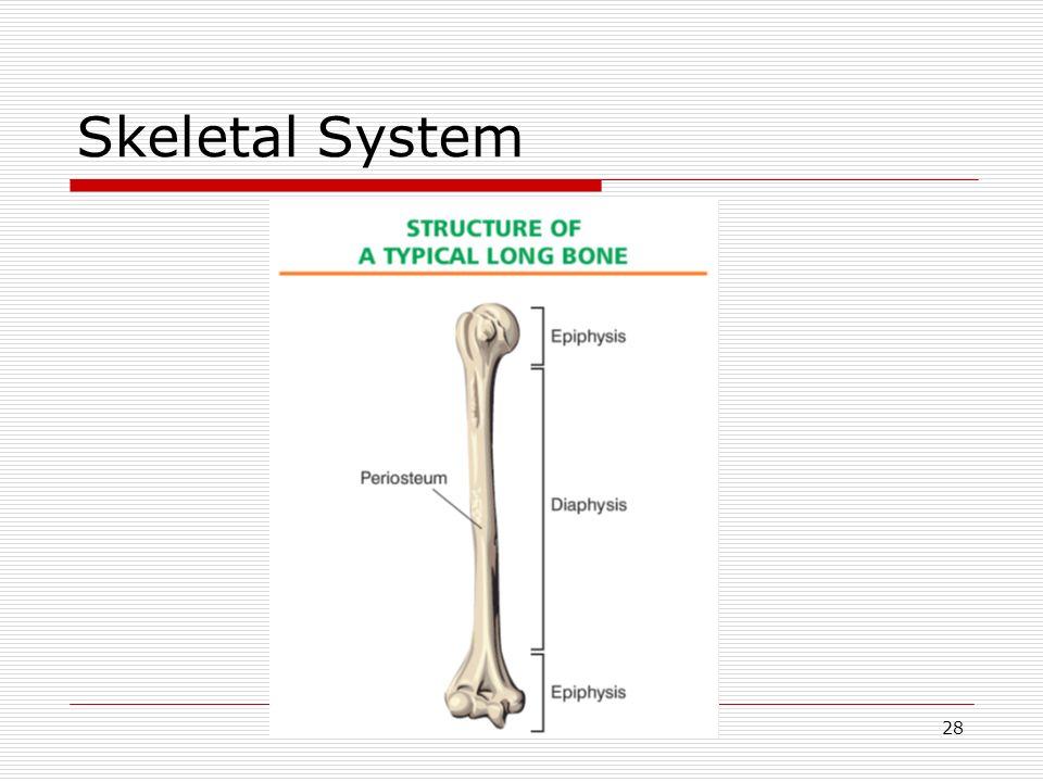 28 Skeletal System