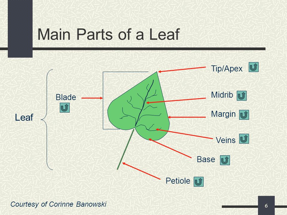 5 5. Base – is found at the bottom of the blade; Like the apex, it can be round, heart shaped, flat, etc 6. Petiole – is known as the leaf stem; It is