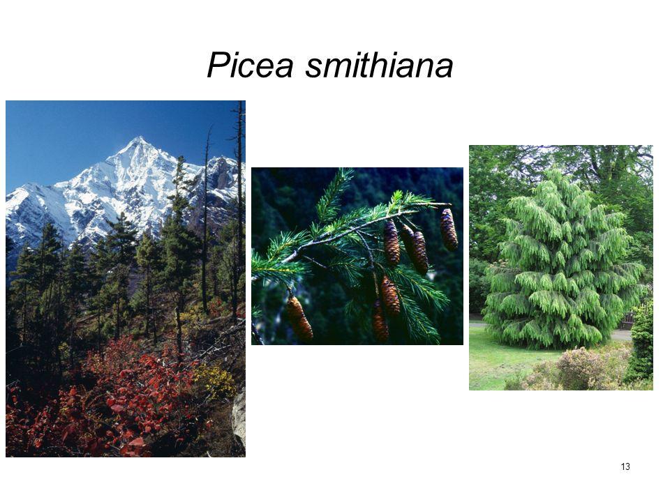 13 Picea smithiana
