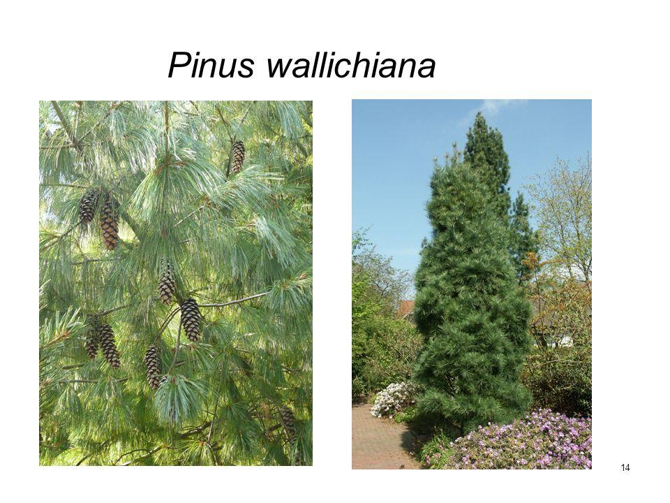 14 Pinus wallichiana