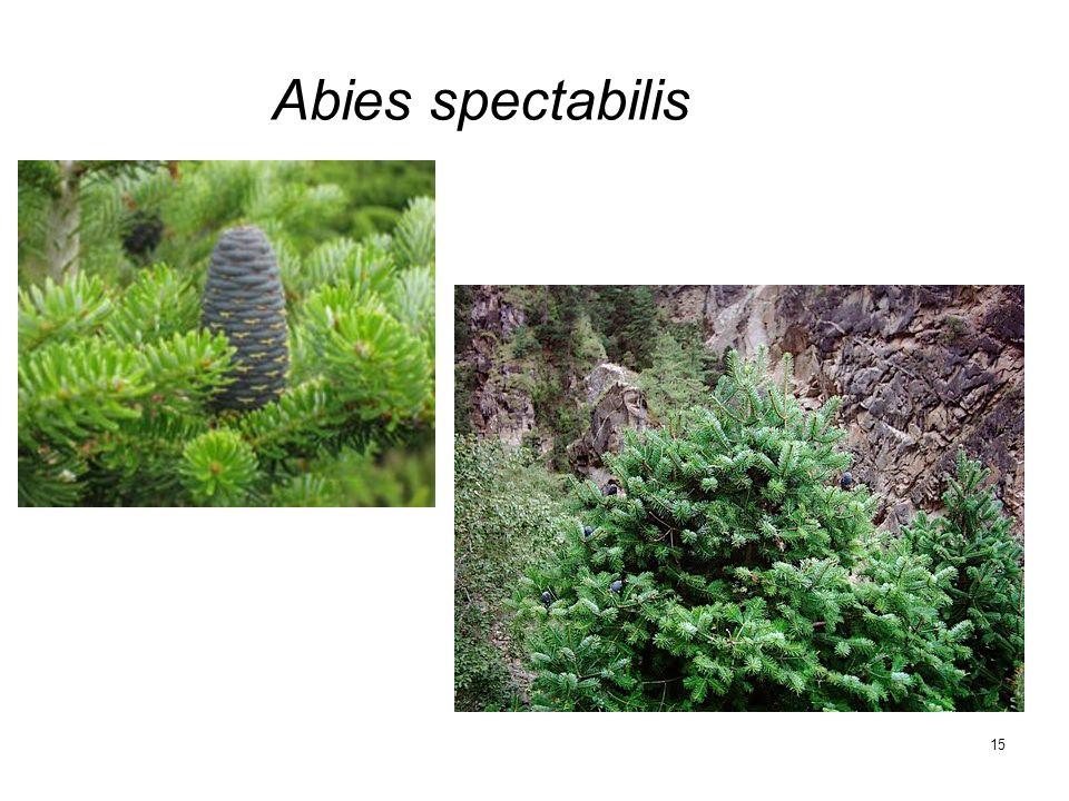 15 Abies spectabilis