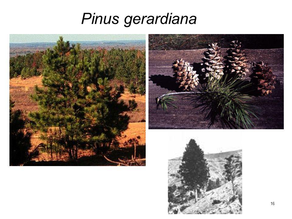 16 Pinus gerardiana