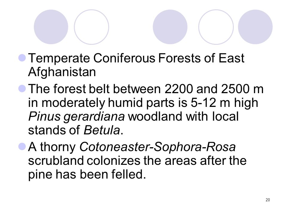 20 Temperate Coniferous Forests of East Afghanistan The forest belt between 2200 and 2500 m in moderately humid parts is 5-12 m high Pinus gerardiana woodland with local stands of Betula.