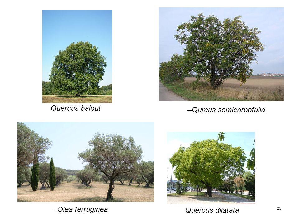 25 –Qurcus semicarpofulia Quercus balout Quercus dilatata –Olea ferruginea