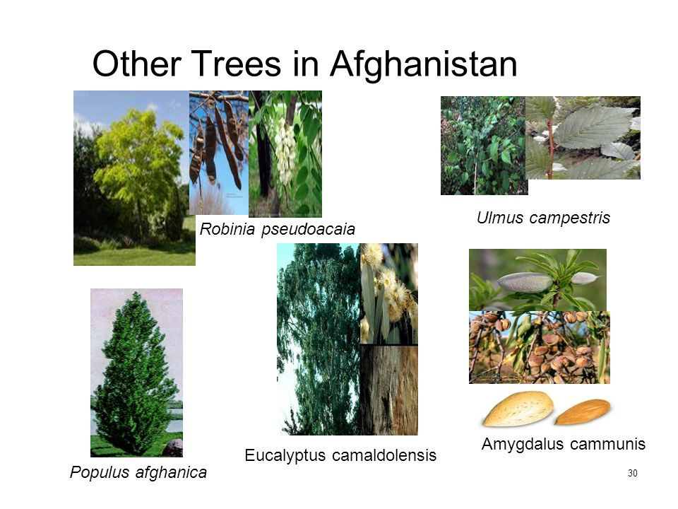 30 Other Trees in Afghanistan Robinia pseudoacaia Ulmus campestris Populus afghanica Eucalyptus camaldolensis Amygdalus cammunis