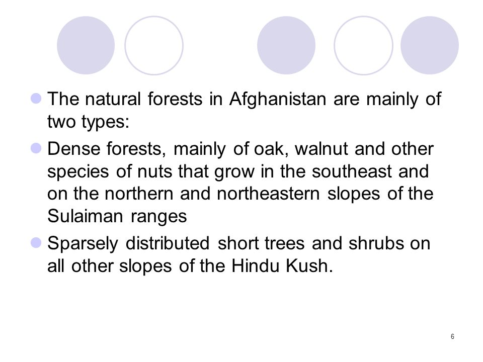17 Himalayan type Evergreen Forests in East Afghanistan Between 1200 and 2200 m the oak Quercus baloot dominates a forest which is up to 15 m high; it has a rich undergrowth and several tree species including almonds Amygdalus kuramica and Pistacia khinjuk.