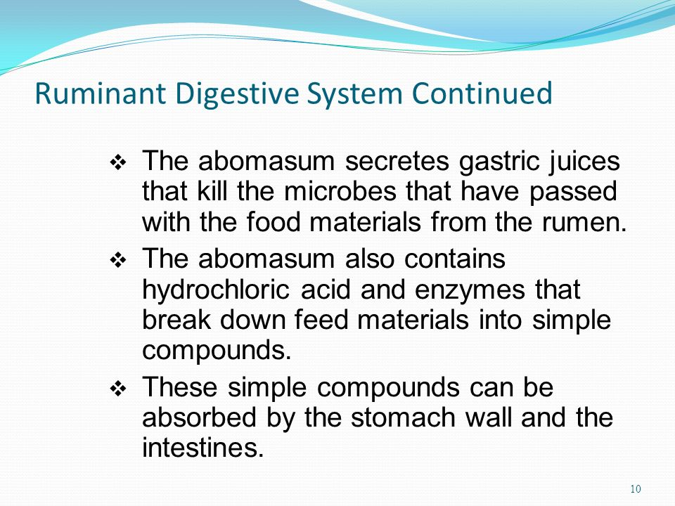Ruminant Digestive System Continued The abomasum secretes gastric juices that kill the microbes that have passed with the food materials from the rumen.