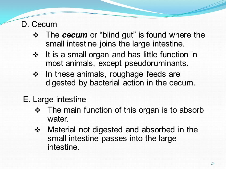 D. Cecum The cecum or blind gut is found where the small intestine joins the large intestine. It is a small organ and has little function in most anim