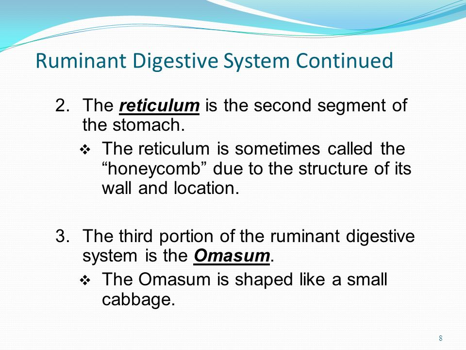 Ruminant Digestive System Continued 8 2.The reticulum is the second segment of the stomach.