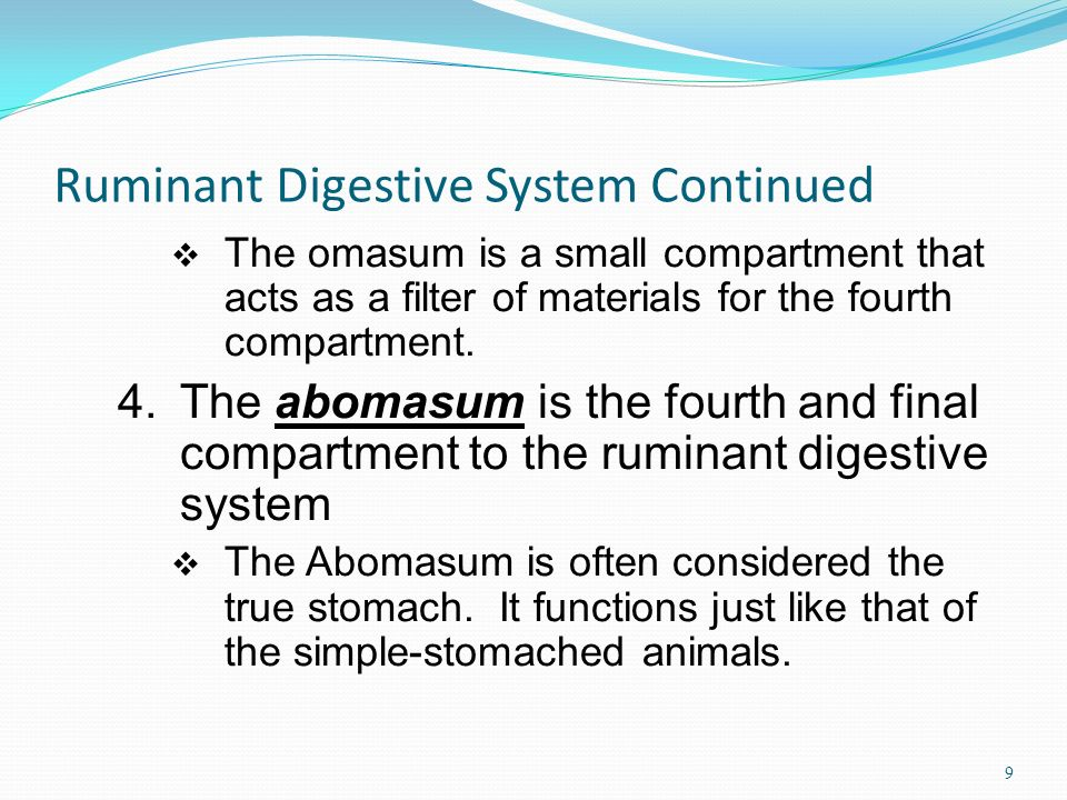 Ruminant Digestive System Continued The omasum is a small compartment that acts as a filter of materials for the fourth compartment.