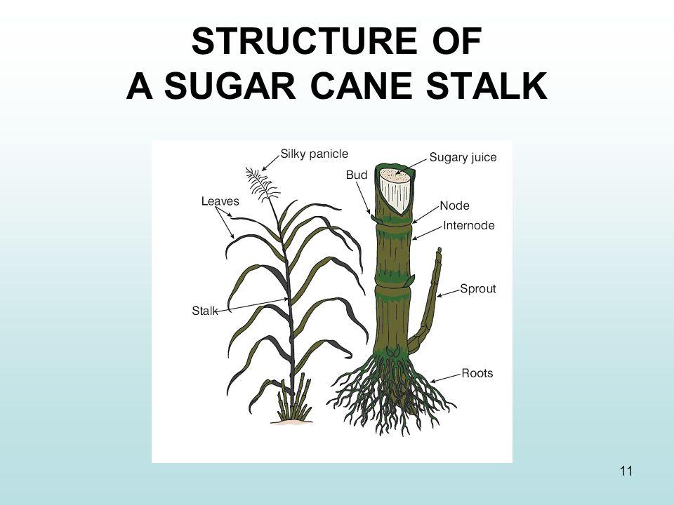11 STRUCTURE OF A SUGAR CANE STALK