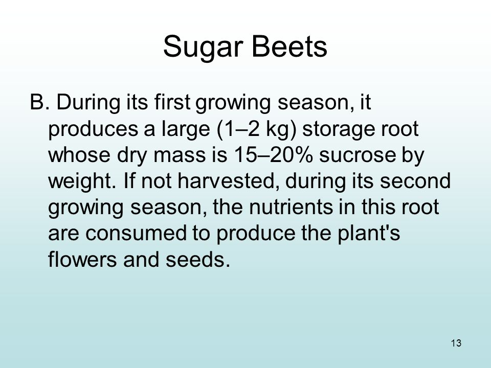 13 Sugar Beets B. During its first growing season, it produces a large (1–2 kg) storage root whose dry mass is 15–20% sucrose by weight. If not harves