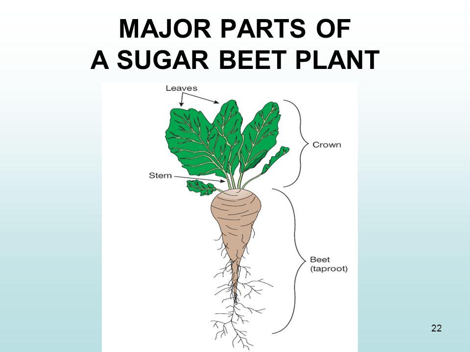 22 MAJOR PARTS OF A SUGAR BEET PLANT