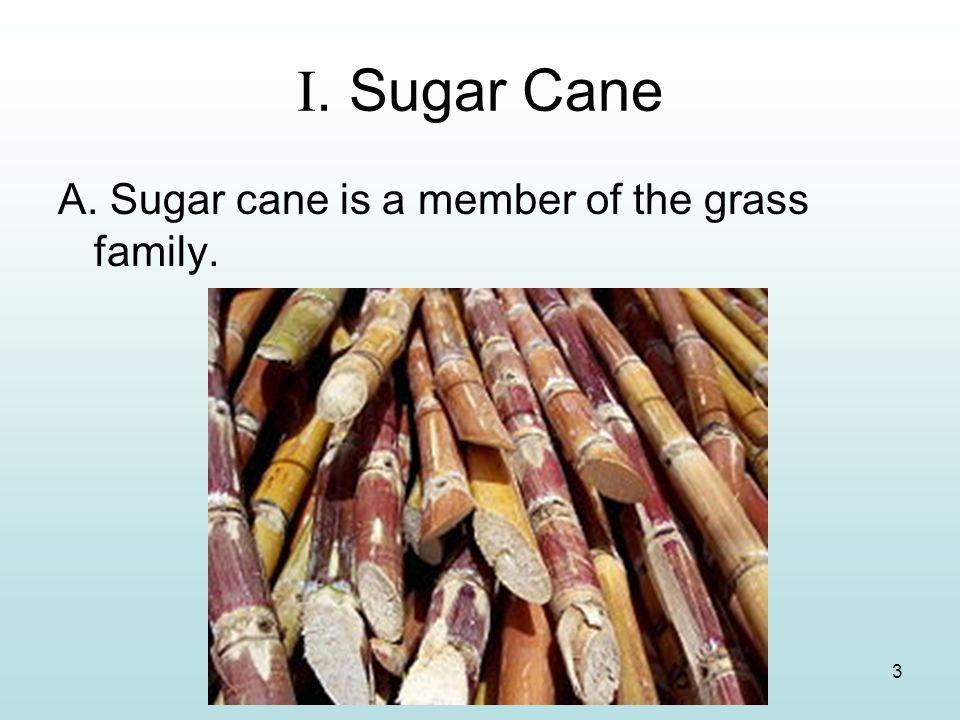 3 I. Sugar Cane A. Sugar cane is a member of the grass family.