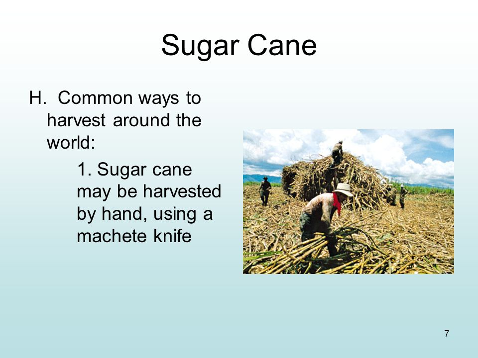 7 Sugar Cane H. Common ways to harvest around the world: 1. Sugar cane may be harvested by hand, using a machete knife