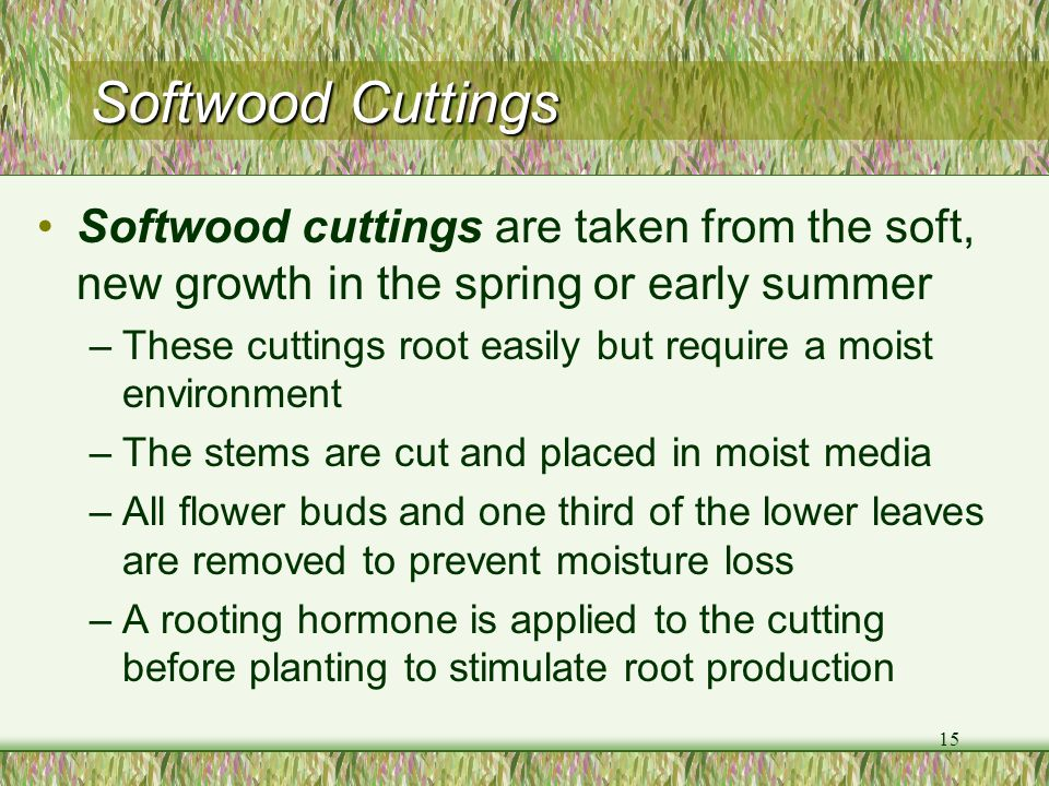 15 Softwood Cuttings Softwood cuttings are taken from the soft, new growth in the spring or early summer –These cuttings root easily but require a moi