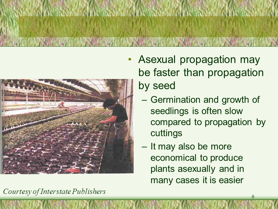 6 Asexual propagation may be faster than propagation by seed –Germination and growth of seedlings is often slow compared to propagation by cuttings –I