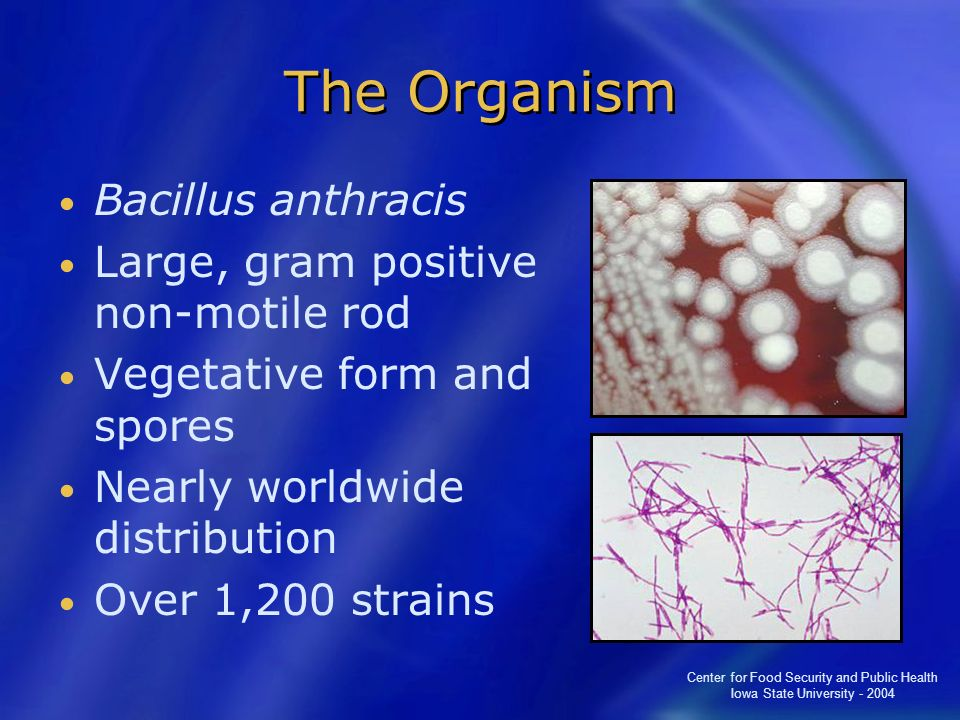 Center for Food Security and Public Health Iowa State University - 2004 The Organism Bacillus anthracis Large, gram positive non-motile rod Vegetative