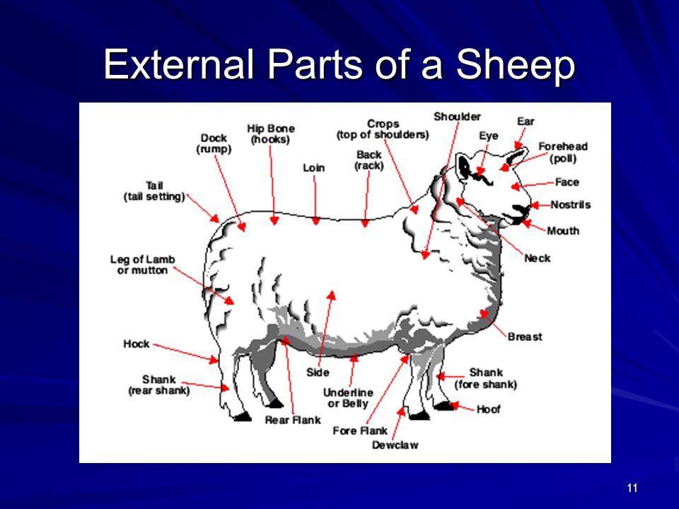 11 External Parts of a Sheep
