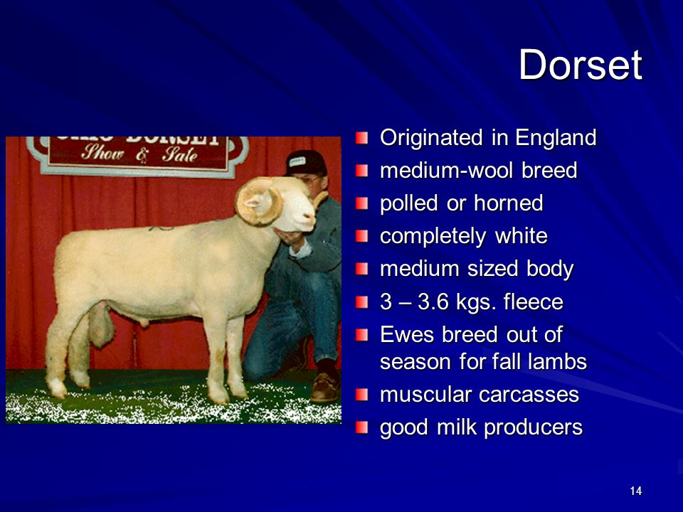 14 Dorset Originated in England medium-wool breed polled or horned completely white medium sized body 3 – 3.6 kgs. fleece Ewes breed out of season for