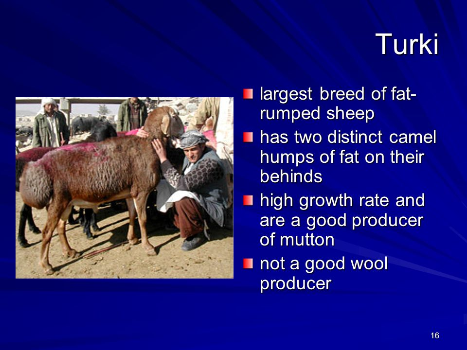 16 Turki largest breed of fat- rumped sheep has two distinct camel humps of fat on their behinds high growth rate and are a good producer of mutton no