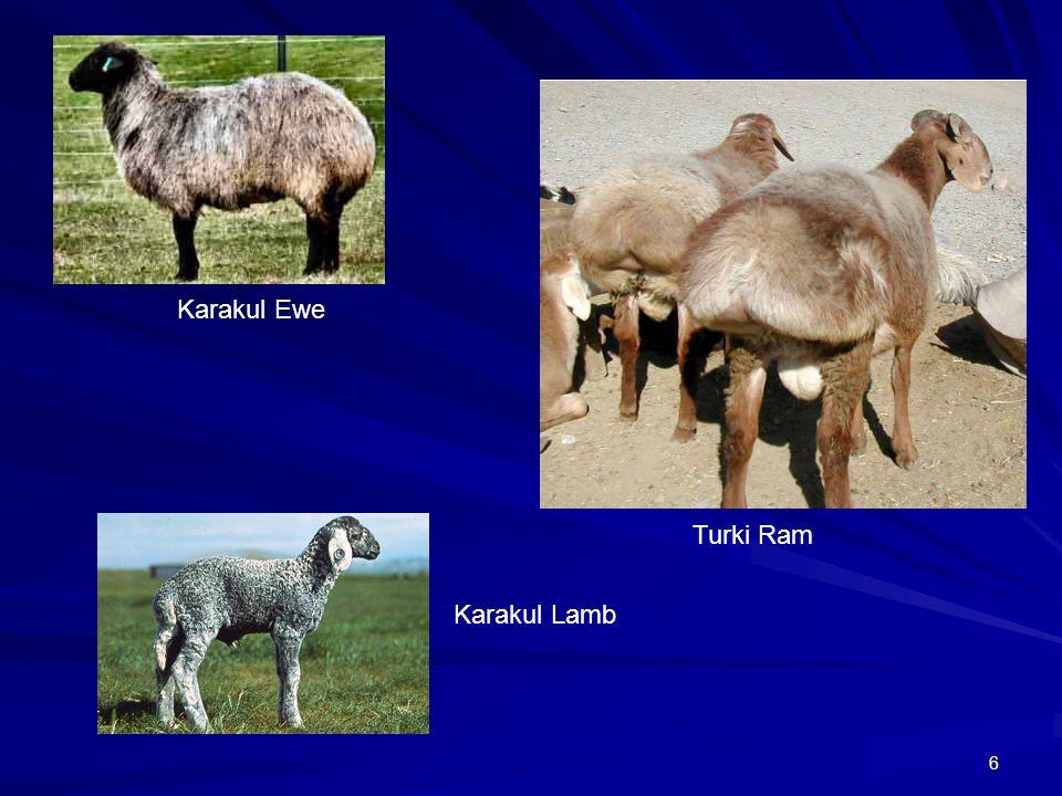 6 Karakul Ewe Karakul Lamb Turki Ram