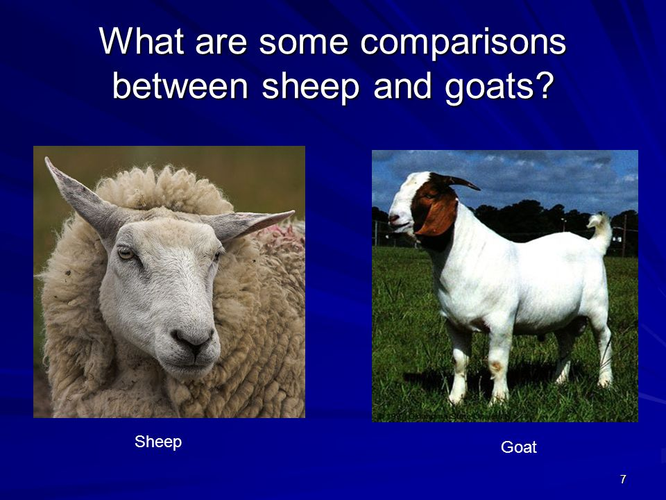 7 What are some comparisons between sheep and goats? Sheep Goat