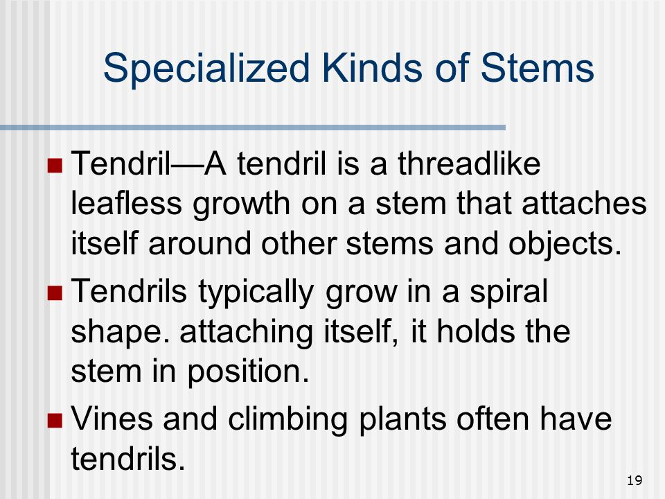 19 Specialized Kinds of Stems TendrilA tendril is a threadlike leafless growth on a stem that attaches itself around other stems and objects. Tendrils