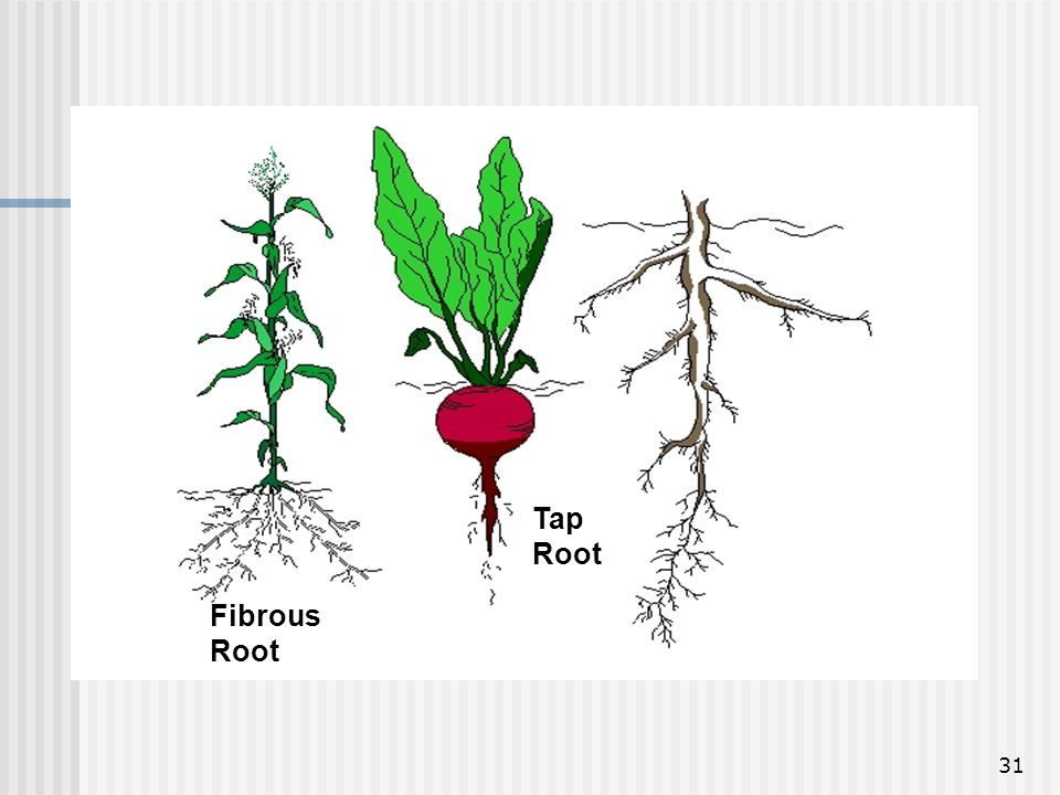 31 Tap Root Fibrous Root