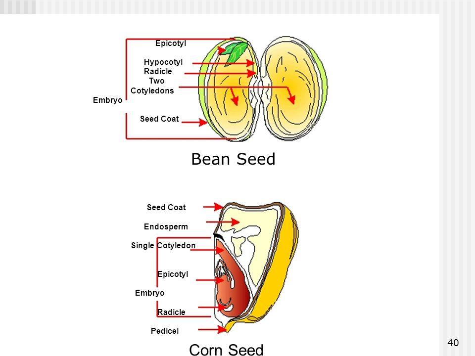 40 Epicotyl Hypocotyl Radicle Two Cotyledons Embryo Seed Coat Endosperm Single Cotyledon Epicotyl Embryo Radicle Pedicel Corn Seed Bean Seed