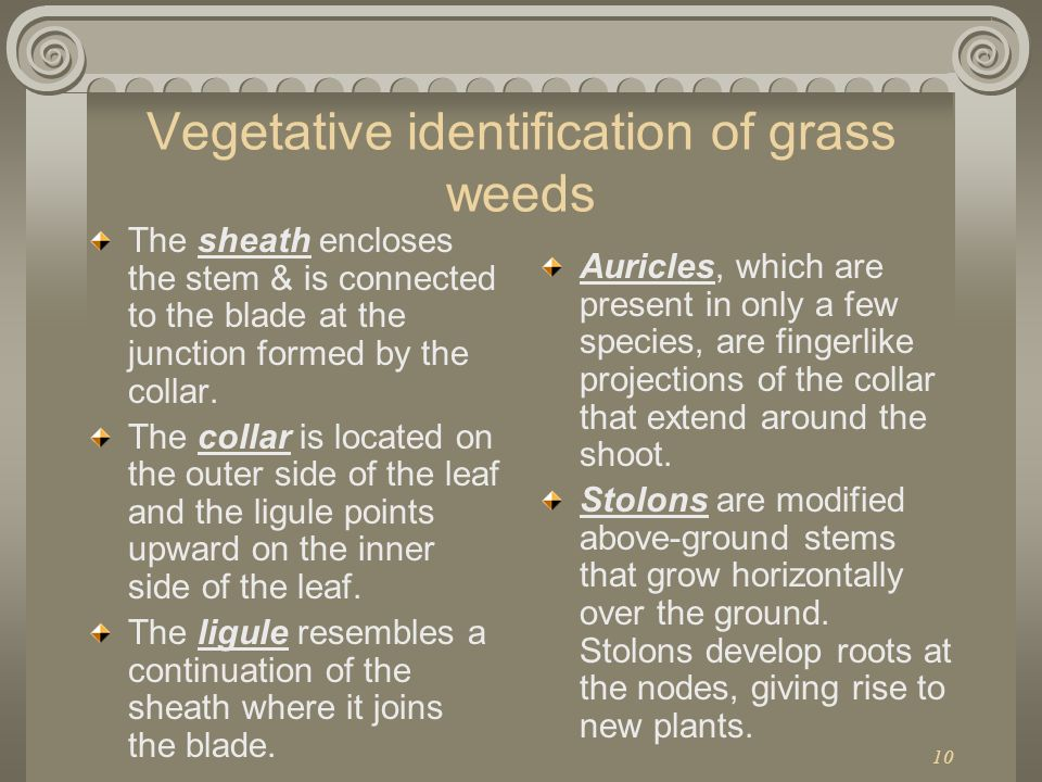 10 Vegetative identification of grass weeds The sheath encloses the stem & is connected to the blade at the junction formed by the collar. The collar