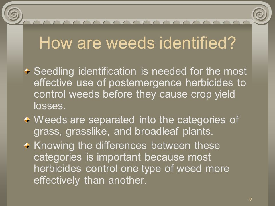 9 How are weeds identified? Seedling identification is needed for the most effective use of postemergence herbicides to control weeds before they caus