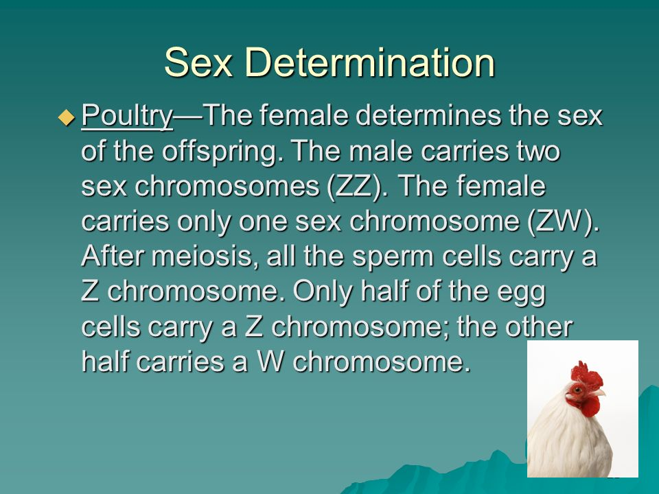 21 Sex Determination PoultryThe female determines the sex of the offspring. The male carries two sex chromosomes (ZZ). The female carries only one sex