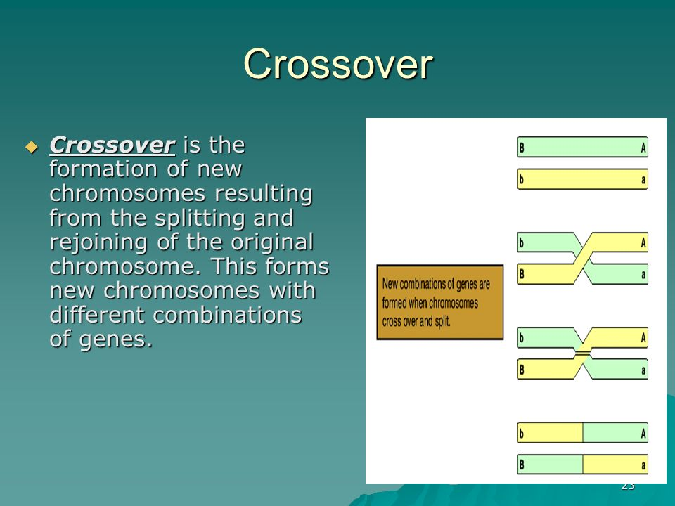 23 Crossover Crossover is the formation of new chromosomes resulting from the splitting and rejoining of the original chromosome. This forms new chrom