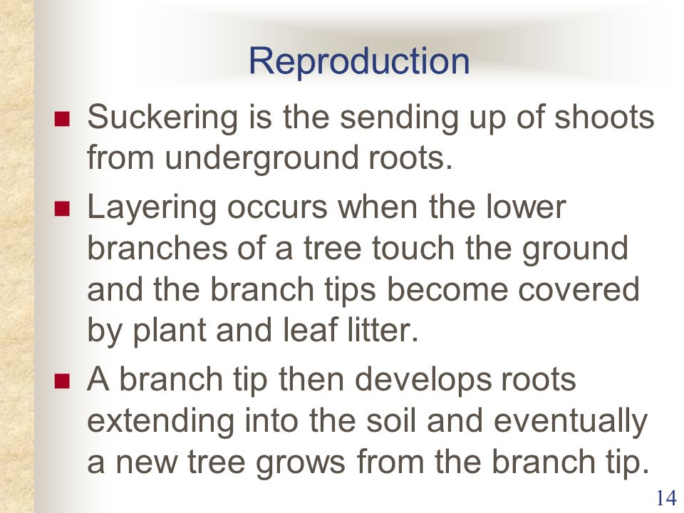 14 Reproduction Suckering is the sending up of shoots from underground roots. Layering occurs when the lower branches of a tree touch the ground and t