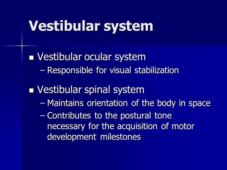 Vestibular system Vestibular ocular system Vestibular ocular system –Responsible for visual stabilization Vestibular spinal system Vestibular spinal s